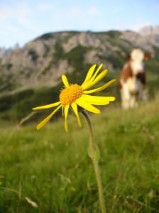 Almsommer-Blume