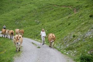 Jersey Kühe auf der Loseggalm